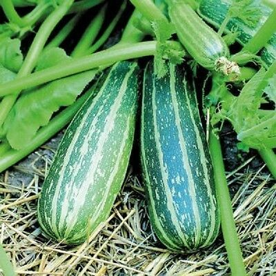 £1.39 • Buy Vegetable Courgette / Marrow Trailing 15 Seeds Zucchini