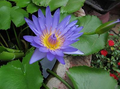 $ CDN3.78 • Buy Nymphaea Nouchali 15-2000 Seeds, Blue Water Lily, Aquatic Star Lotus, USA