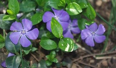 AU5 • Buy 40+ Vinca Orchid Periwinkle Flower Seeds / Long Lasting Annual
