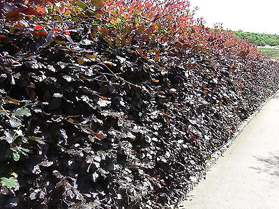 5 Copper Beech 2-3ft Purple Hedging Trees.Stunning All Year Colour 60-90cm • 24.99£