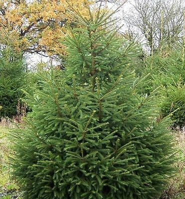 10 Norway Spruce Christmas Trees 20-30cm,Quick Growing  Evergreen Plants  • 17.99£