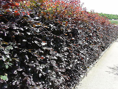 50 Copper Beech 2-3ft Purple Hedging Trees.Stunning All Year Colour 60-90cm • 165.99£
