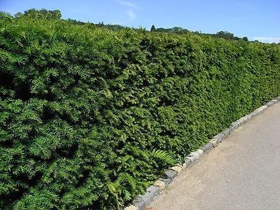 5 English Yew 25-30cm Hedging Plants,4yr Old Evergreen Hedge,Taxus Baccata Trees • 16.95£