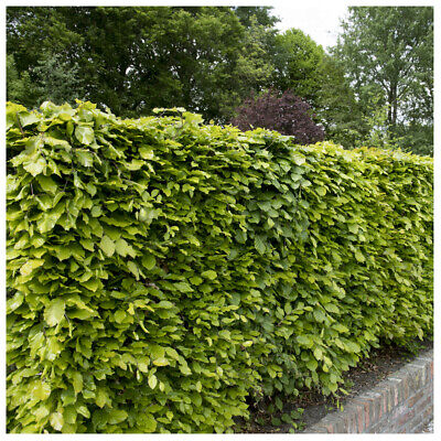 10 Green Beech Hedging Plants 2 Year Old, 1-2ft Grade 1  Hedge Trees 40-60cm • 14.99£