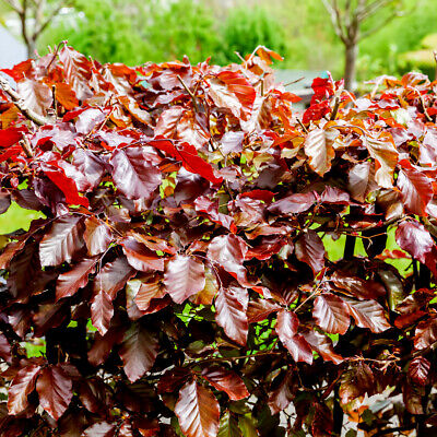 1 Copper Beech 3-4ft Purple Hedging Tree, Stunning All Year Colour 90-120cm • 11.99£