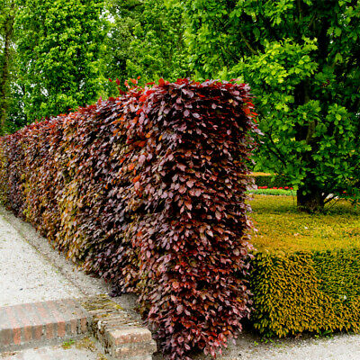 3 Copper Beech 4-5ft Purple Hedging Trees, Stunning All Year Colour • 33.99£
