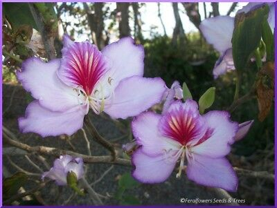 AU3.50 • Buy Mauve/pink  Orchid Tree, 20+ Fresh Seeds