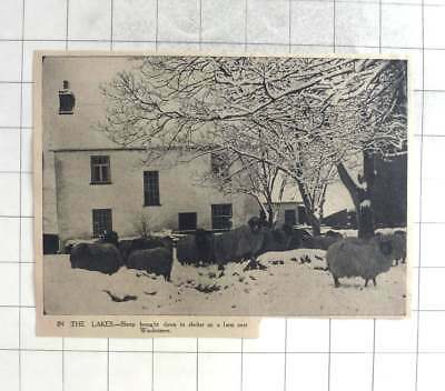 1939 Lake District, Sheep Brought Down To Shelter On Farm Near Windermere • 5£