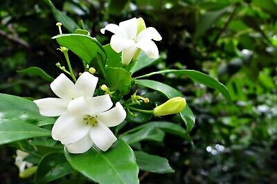 $10.59 • Buy Murraya Paniculate Orange Jasmine Seeds Great Potted Tropical Multi-use Plant