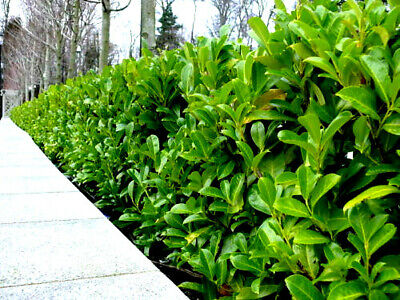 Cherry Laurel Fast Growing Evergreen Hedging 2-3ft Tall Multi-Stemmed Plants • 34.95£