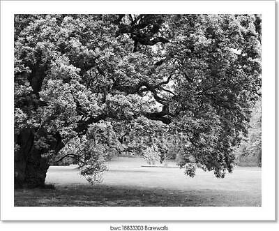 $19.95 • Buy Black And White Big Lonely Oak Art/Canvas Print. Poster, Wall Art, Home Decor