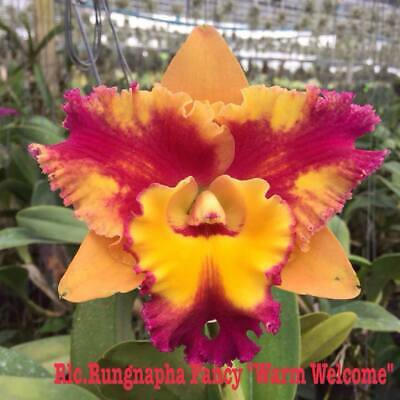 AU11 • Buy RON.Cattleya Orchid. Rlc. Rungnapha Fancy 'Warm Welcome' - Quality Mericlone