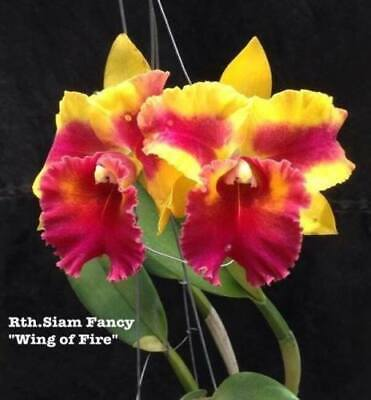 AU11 • Buy RON.Cattleya Orchid. Rth. Siam Fancy 'Wing Of Fire' - Quality Mericlone