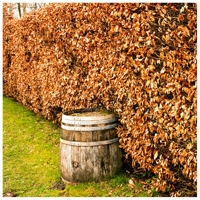 75 Green Beech Hedging Plants 2-3ft Fagus Sylvatica Trees,Brown Winter Leaves • 116.99£