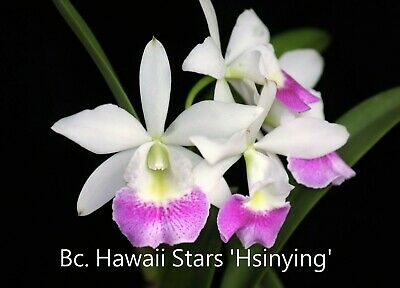 AU18 • Buy RON Cattleya Orchid Bc. Hawaii Stars 'Hsinying' Quality Mericlone FLOWERING SIZE