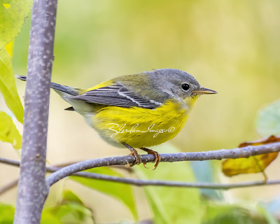 $19.95 • Buy Magnolia Warbler  First Winter Outfit  Wall Decor 8x10 Color Photo Print