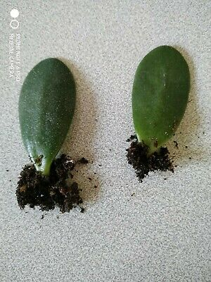 £1.72 • Buy Two Jade Crassula Ovata Rooted Leaves Money Trre Good Luck Plant Indoor House