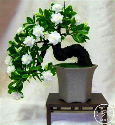 $3.96 • Buy 100 PCS Seeds Gardenia Plants Cape Jasmine Home Garden Potted Bonsai Flowers New