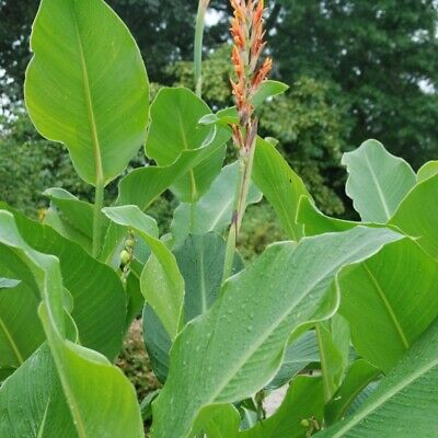 £3.95 • Buy Canna Tuerckheimii  5 SEEDS .FRESH VIABLE SEEDS OF THIS TROPICAL EXOTIC PLANT