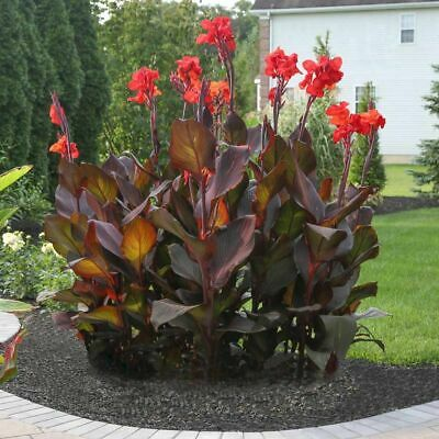 £3.95 • Buy Canna SMOKEY FLAME  5 SEEDS .FRESH VIABLE SEEDS OF THIS TROPICAL EXOTIC PLANT
