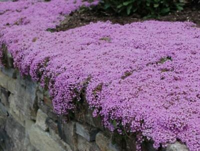 250 X Thyme 'Purple Creeping' Herb SEEDS – Quality UK Seed *Fast Dispatch* • 2.99£