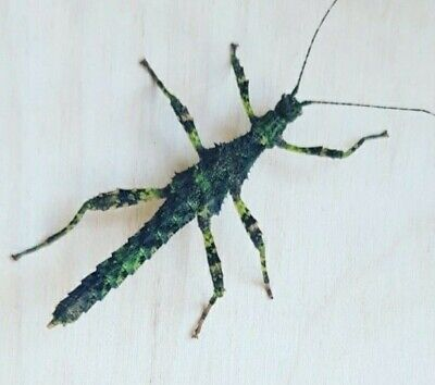 Sabah Borneo Thorny Stick Insect Eggs X10 • 2.50£