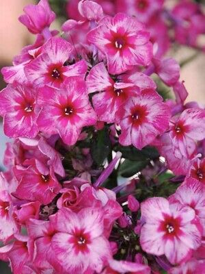 Tall Standing Phlox Fireworks Shipping Spring 2021 • 11.98£