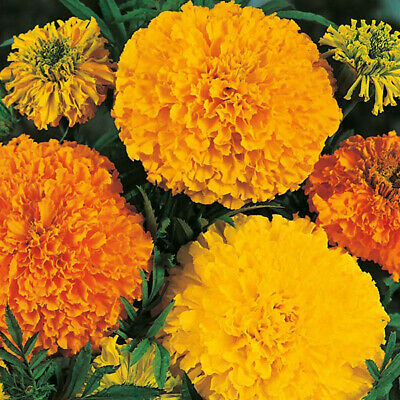 150 Marigold Crackerjack Seeds Big Large Double Heirloom African Flower Plant • 1.89£