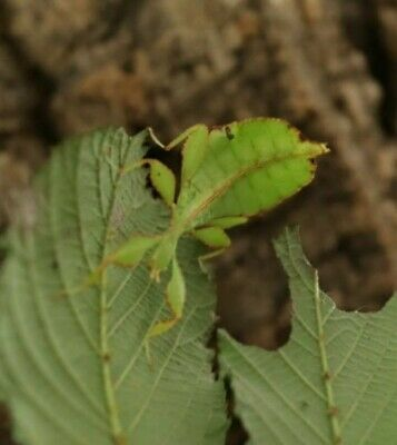 Leaf Insect Eggs X10 • 3.99£