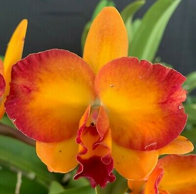 AU51 • Buy RON Cattleya Orchid Special Rth. Rosella's Sound OVERGROWN BIG PLANT (3382)