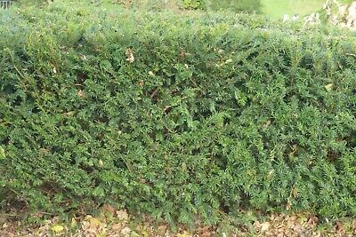 50 X 15-20cms YEW HEDGING, TAXUS EVERGREEN P9 POTs • 99.99£