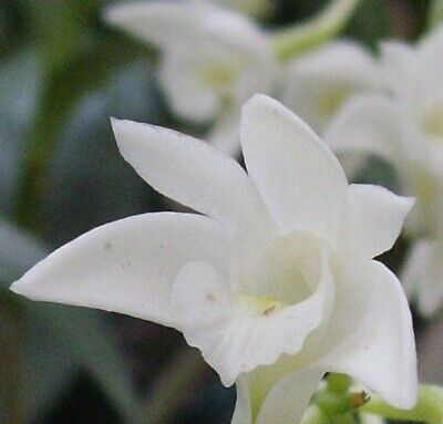 AU24 • Buy  Dendrobium Kingianum 'Alba' Natural Specie, Crisp White Perfumed Flowers