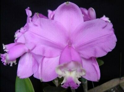 AU20 • Buy RON Cattleya Orchid C. Loddigesii X Sib SPECIES 50mm Pot