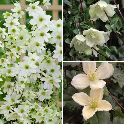 3 Evergreen Climbing Clematis Plants In 9cm Pots • 17.99£