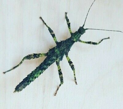 Sabah Borneo Thorny Stick Insect Eggs X20 • 3.99£