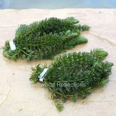 2 Bunches Of Hornwort ~ Oxygenating Pond Weed ~ Weighted • 6.40£