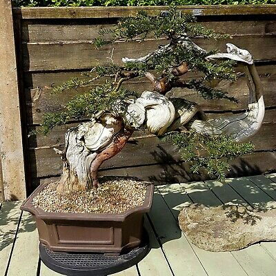 Bonsai YEW Tree Tanuki. Very Large Styled And Blogged By Tony Tickle • 2,500£