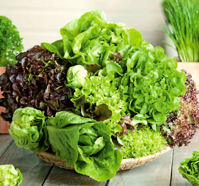 £2.59 • Buy 300 X Mixed LETTUCE Seeds Butterhead Cos Loose Leaf *Fast Dispatch*