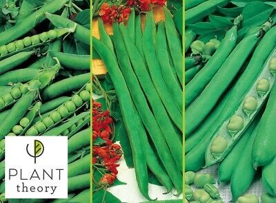 Runner Bean Seeds Broad Beens Runner Green Shaft Pea Seed Pack Plant Theory • 3.99£