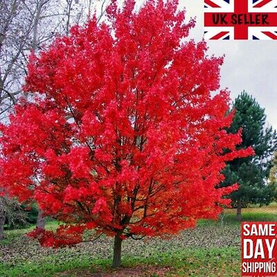 Red Maple Tree (Acer Rubrum) 25 Fresh Seeds. Bonsai. Same Day Dispatch • 3.49£