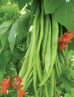Stringless Lady Di Runner Beans 20 Seeds Vegetable Patch Home Grow Allotment UK • 3.49£