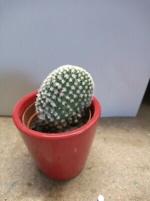 £6.95 • Buy Opuntia Cactus Plant In A Small Red Pot Opuntia Houseplants Bunny Ear Cactus