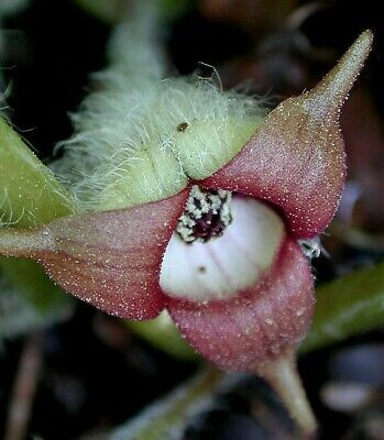 £9.95 • Buy Asarum Canadense.one Bulb.tropical Looking Aroid Tubers Exotic Unusual Potted