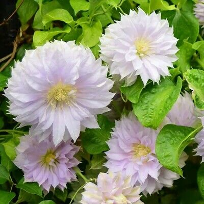 Clematis 'Belle Of Woking' Early Flowering Pink Climbing. Plant In Pic's 2 & 3 • 1.20£
