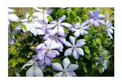 £38.52 • Buy 1x Clematis Mrs.Cholmondeley Clematis Garden Climbing - Plants K-P497