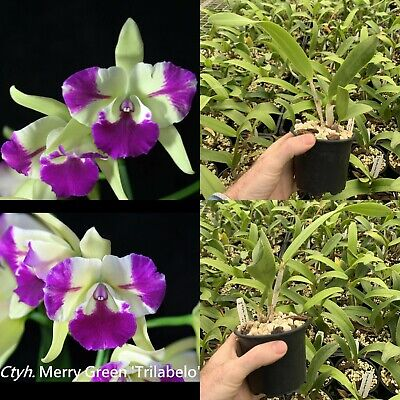 AU25 • Buy RON Cattleya Orchid Ctyh Merry Green Trilabelo Mericlone 100mm Pot Advanced Size