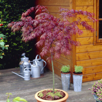 £29.99 • Buy Japanese Acer Palmatum 'Crimson Queen' Weeping Red Maple Tree 90cm- 1m Tall