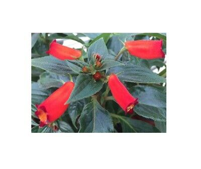 £19.46 • Buy Pcs - 1x Gloxinia Speciosa Flower Red Orchid Plant OW85