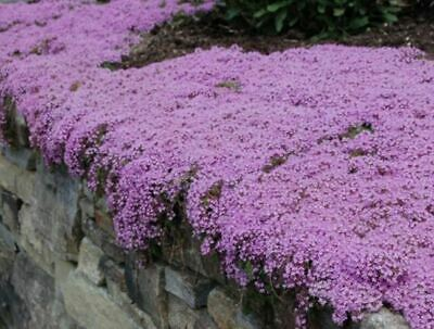 £2.99 • Buy 250 X Thyme 'Purple Creeping' Herb SEEDS – Quality UK Seed *Fast Dispatch*