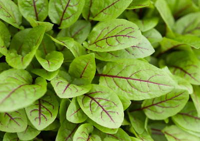 £2.49 • Buy 200 X Red Veined SORREL Seeds – Quality UK Herb Seed *Fast Dispatch*